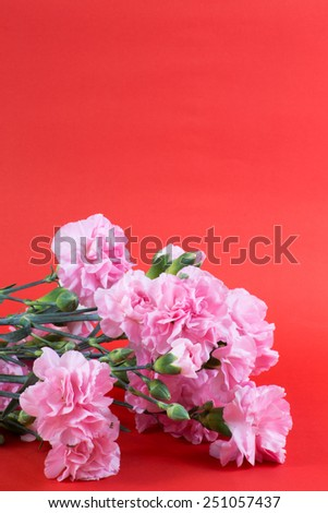 pink carnation on red background