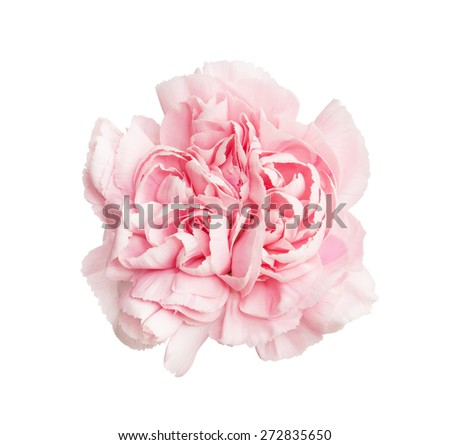 Pink carnations flower isolated on white background