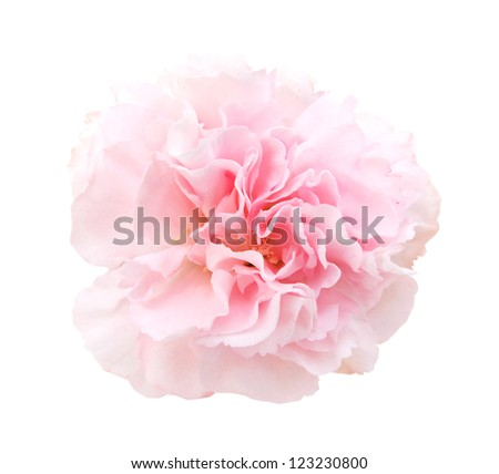Pink carnations flower on white - stock photo