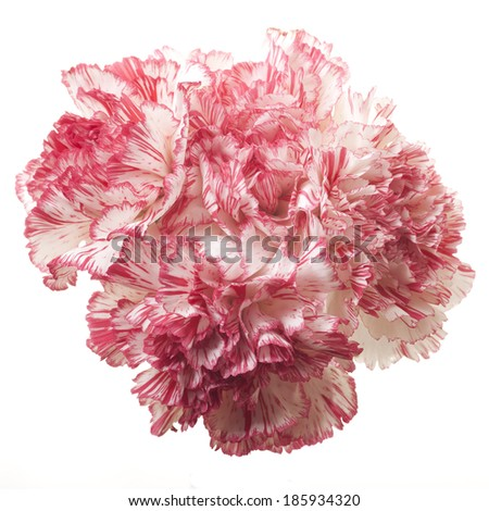 Pink Carnations Isolated on White Background - stock photo