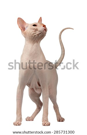 Pink Cat of breed Sphynx. Naked cat Isolated on White Background