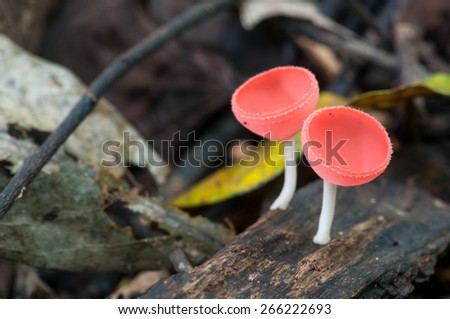 Pink Champagne Cup Mushroom