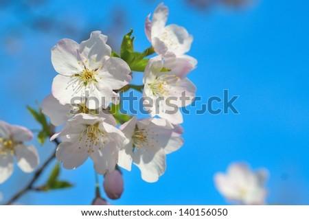 Pink cherry blossom - stock photo