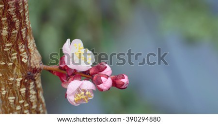 Pink cherry blossom and dew drops - stock photo