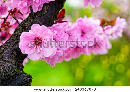 Pink cherry blossom flowers in garden. Cherry blossom is speculated to be native to the Himalayas. - stock photo