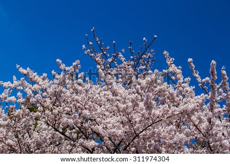 Pink cherry blossom full bloom with blue sky background. - stock photo