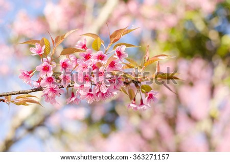 Pink cherry blossom in Chiangmai,northern of Thailand