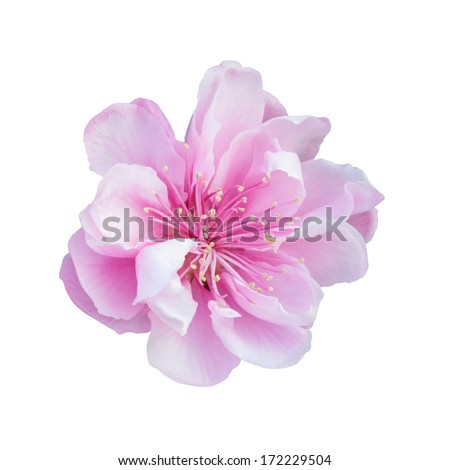 Pink Cherry Blossom Isolated on White Background - stock photo