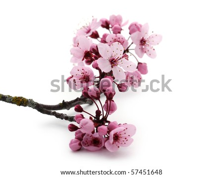 Pink cherry blossom on white - stock photo