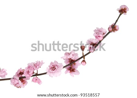 Pink cherry blossom on white background - stock photo