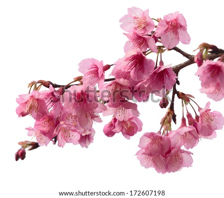 Pink cherry blossom sakura, isolated on white background - stock photo