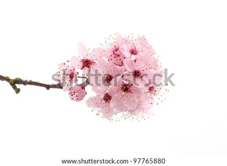 Pink cherry blossom sakura isolated on white background - stock photo