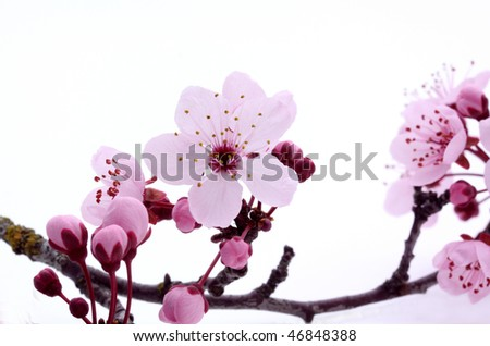Pink cherry blossom sakura on white - stock photo