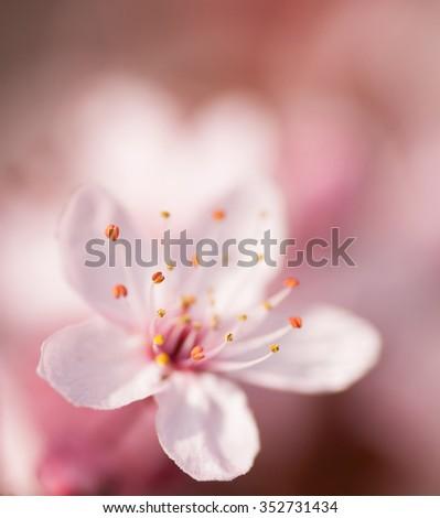 Pink cherry blossom shallow DOF - stock photo