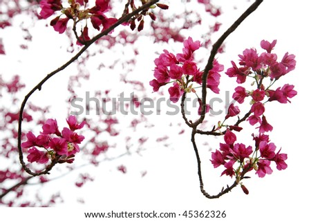 pink cherry blossoms - stock photo