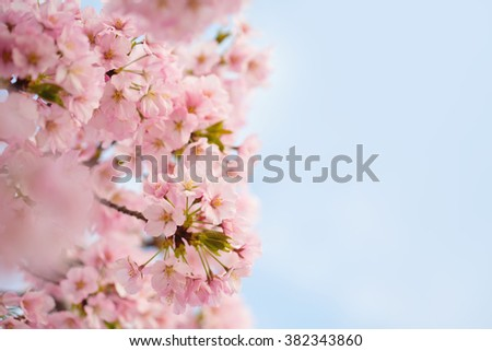 Pink Cherry blossoms flowers in bloom, spring theme with copyspace - stock photo