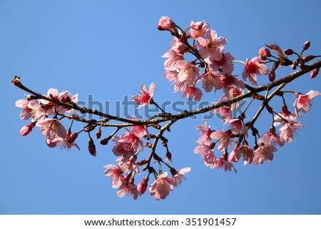 Pink cherry blossoms in blue sky background