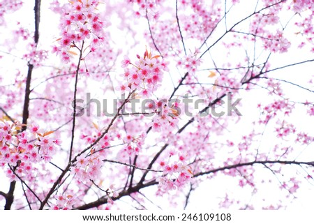 Pink Cherry Blossoms in Spring Season - stock photo