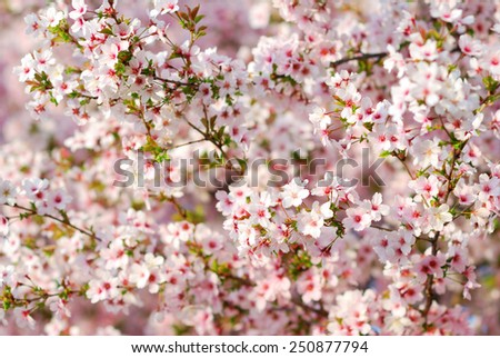 Pink cherry tree blossoms in springtime - stock photo