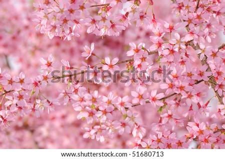 Pink cherry tree flower background - stock photo