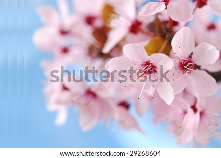 Pink chery bloom against blue - stock photo