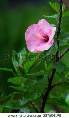Pink China rose blooming(Hibiscus rosa-sinensis L) - stock photo