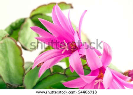 pink christmas cactus  bloom, isolated on white