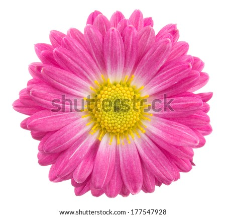 Pink chrysanthemum. Deep focus. No dust. No pollen.  - stock photo