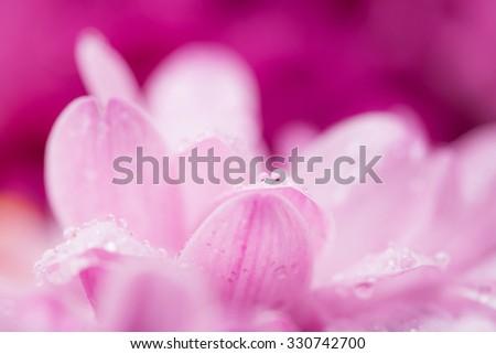 pink chrysanthemum flower and water drops in macro lens shot small DOF - stock photo