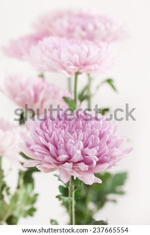 Pink Chrysanthemum Flower branch - stock photo