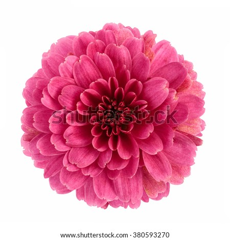 Pink chrysanthemum flower isolated on white background - stock photo