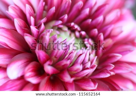 Pink chrysanthemum flower macro wide frame - stock photo