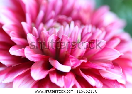 Pink chrysanthemum flower macro wide frame