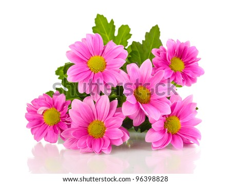 Pink chrysanthemum flowers isolated on white - stock photo