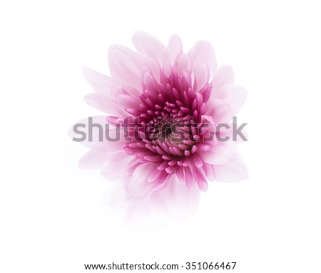 pink chrysanthemum flowers isolated on white background