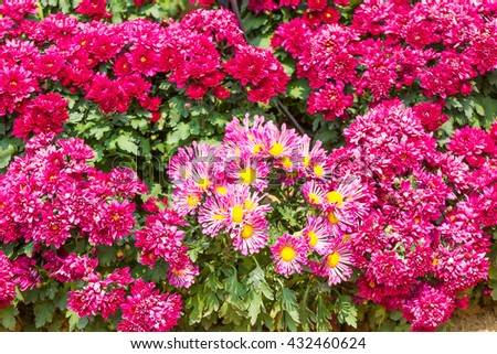 Pink Chrysanthemum flowers with water drop in garden - stock photo