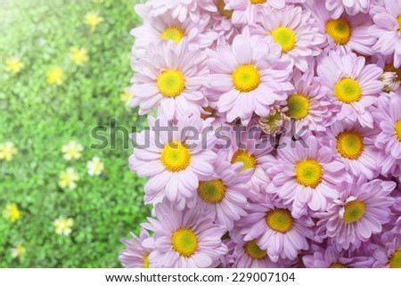 pink chrysanthemum in the garden with flare - stock photo