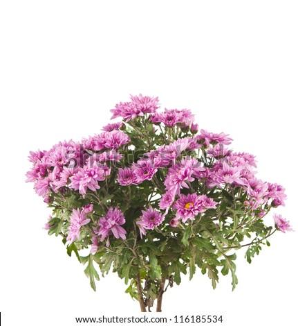 pink chrysanthemum isolated on white background - stock photo