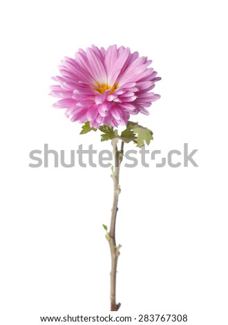 Pink chrysanthemum isolated on white background - stock photo