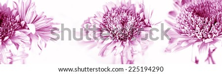 Pink chrysanthemum on white background - stock photo