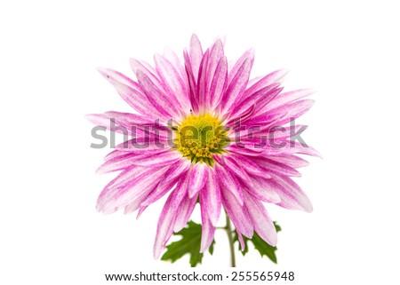 pink chrysanthemum on white background - stock photo