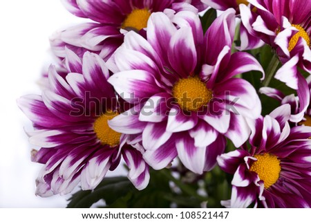 pink chrysanthemums closeup isolated
