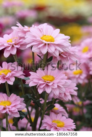 pink chrysanthemums flowers in the garden - stock photo