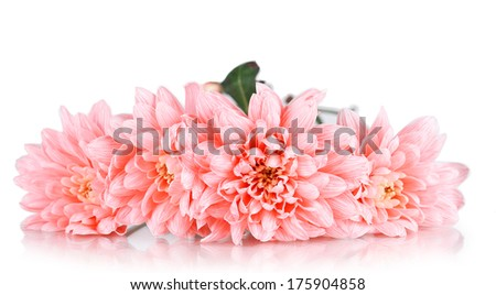 Pink chrysanthemums isolated on white - stock photo