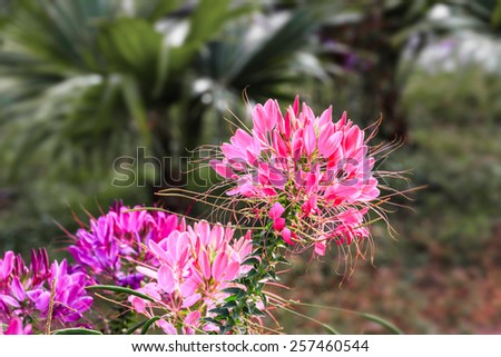 Pink cleome flower in tropical garden - stock photo