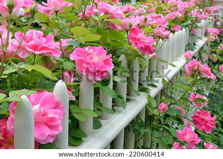 Pink climbing roses on picket fence - stock photo