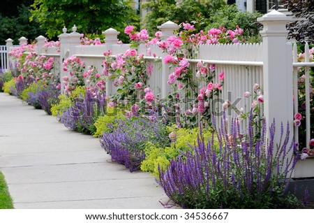Pink climbing roses on white fence bordering garden and sidewalk. Salvia, sage, catmint and lady's mantle in colorful flower bed.