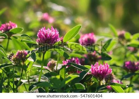 Pink clover flowers on green field or meadow