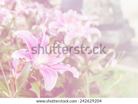 pink color background of lily flower