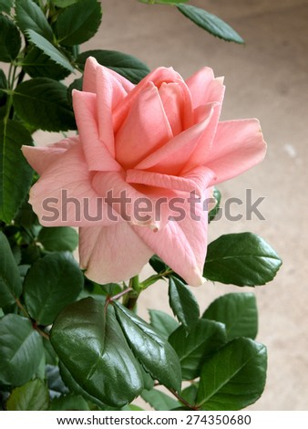 Pink color single rose blossom close up vertical - stock photo